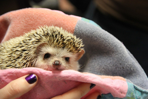 THIS HEDGEHOG'S FACE