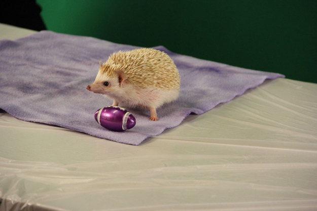 This hedgehog hanging out with a tiny football.