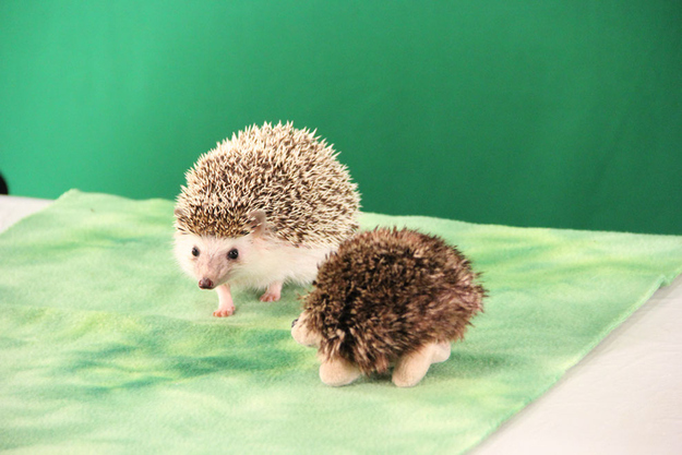 This hedgehog hanging out with a small stuffed hedgehog version of itself.