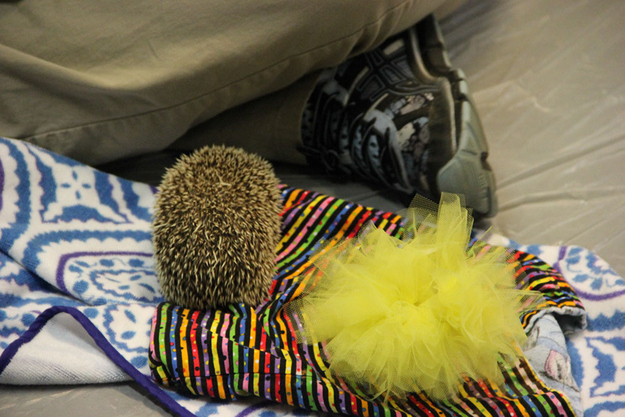 This hedgehog who didn't want to wear a tutu.