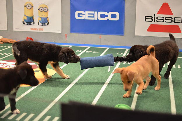 These dogs playing tug-o-war.