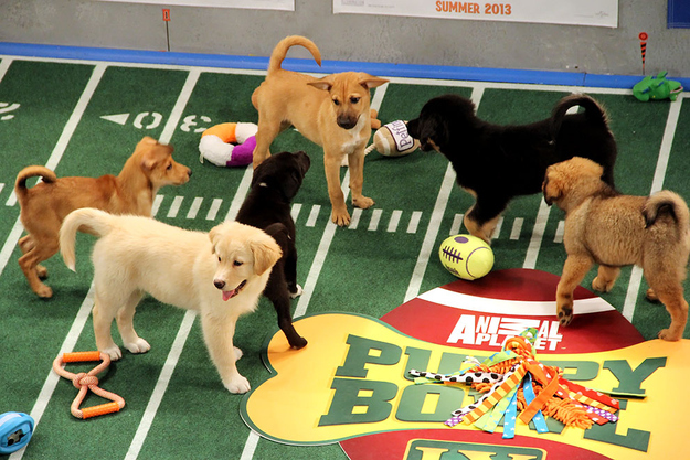 Groups of puppies puppying.