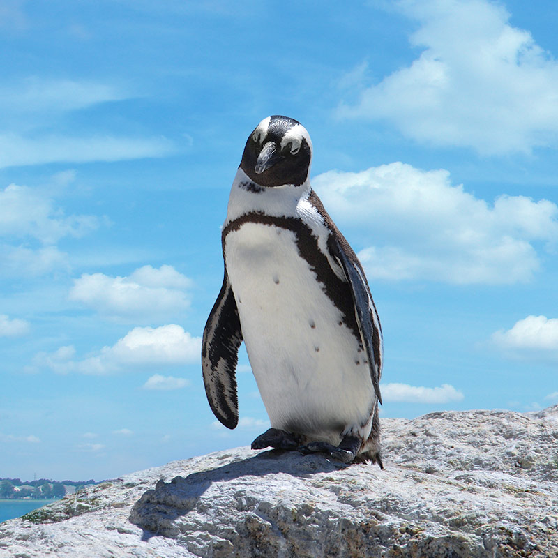 Penguin_Standing_On_Rock.jpeg