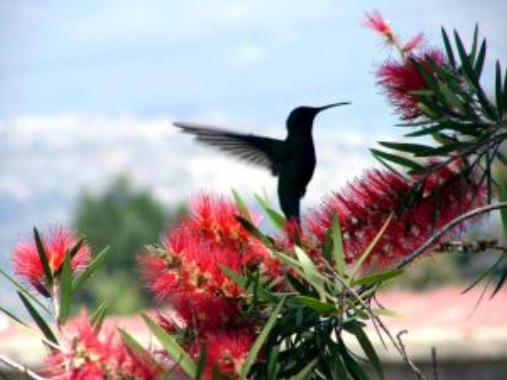 Hummingbird-308762-edited.jpg