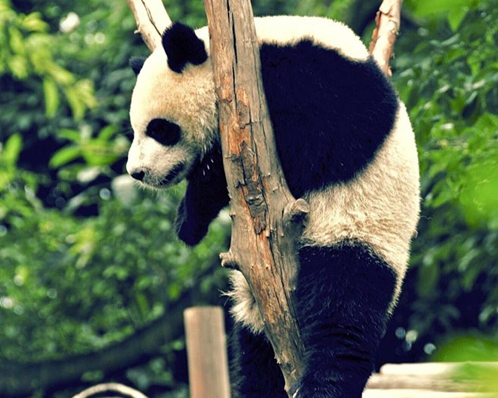 Panda_Climbing-578623-edited.jpeg
