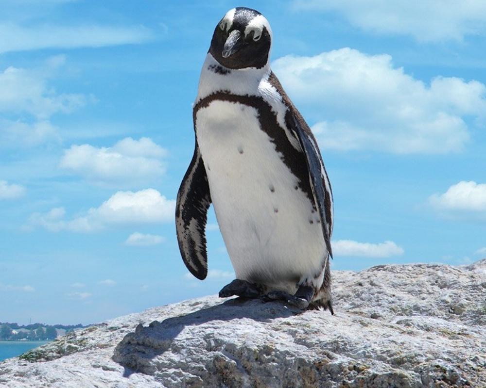 Penguin_Standing_On_Rock-830344-edited.jpeg